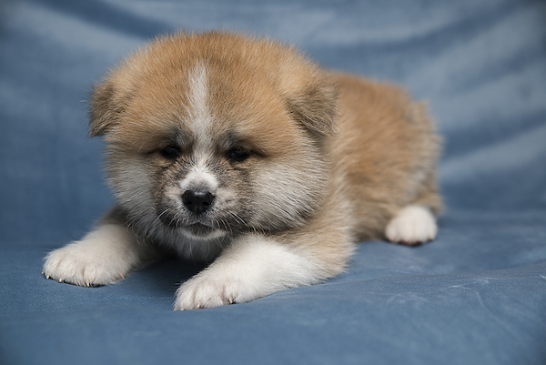 akita puppies Lavr De Dis kennel Russia Moscow